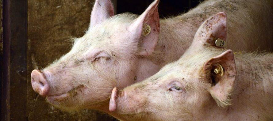Stručnjaci udružuju snage kako bi sprečili ulazak afričke kuge svinja na Balkan