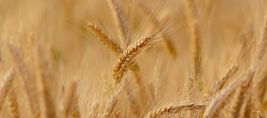 Obaveštenje o naturalnoj razmeni pšenice i kukuruza