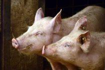 Brojevi za prijave uginuća ili sumnje na bolest afrička kuga svinja