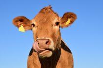 """Srbija dobila status zanemarljivog rizika na """"bolest ludih krava"""""""